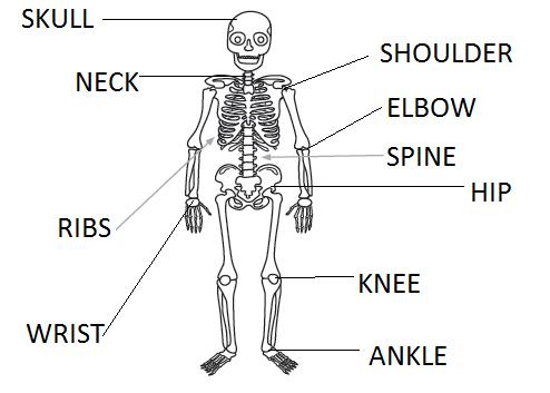 English Exercises: Human body